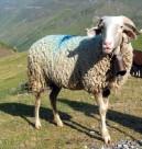 Le Mouton Barèges-Gavarnie