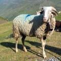 Mouton de Barèges-Gavarnie
